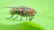 Die Fliege mit den roten Augen